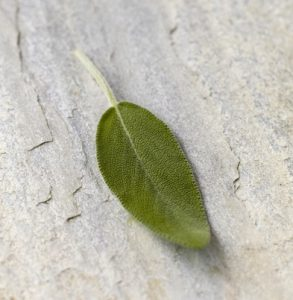 Sage leaf Repels Mosquitoes